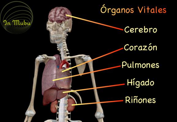 órganos-vitales